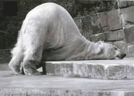 Sad Polar Bear